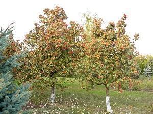 Деревья молодого боярышника