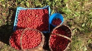 Отборные ягоды