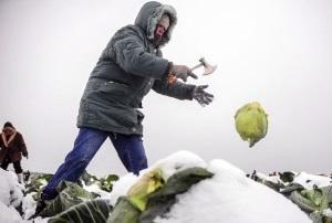 Боится ли капуста заморозков?