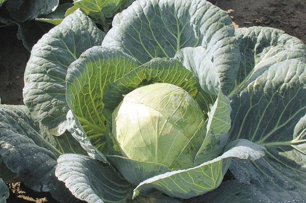 Как определить спелость капусты?