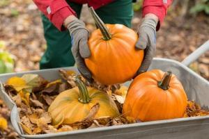 Подготовка тыквы для сбережения зимой
