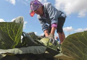 Правила уборки капусты