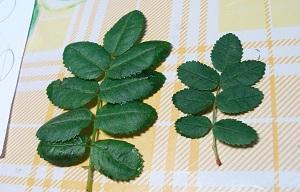 Отборные листья шиповника