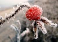 Можно ли замораживать плоды шиповника на зиму в домашних условиях?