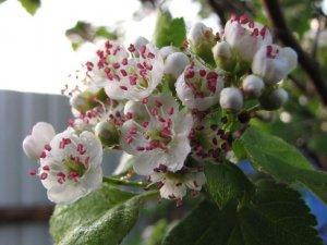 Как отобрать и засушить листья и цветы боярышника?