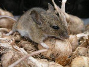 Борьба с мышами народными средствами