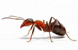 Развитие муравьев