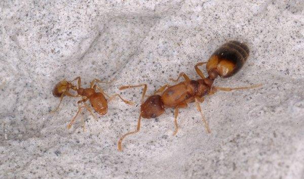 Фото матка рыжего муравья