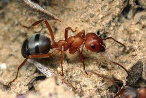 Рыжий муравьей