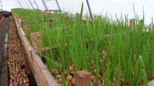 Плюсы выращивания лука в теплице