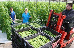 Обрудование и агротехника в промышленных теплицах под огурцы