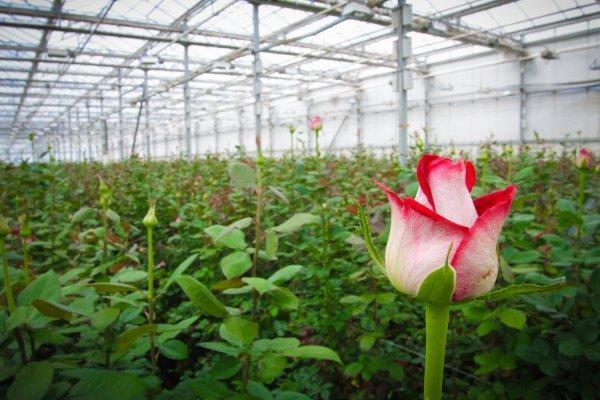 Оптимальные условия для посадки роз