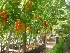 Индетерминантные сорта томата черри