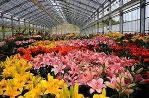 Какие цветы выращивать в теплицах?