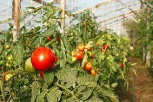 Выращивание помидор в теплице как бизнес