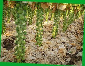 Выращивание в теплице капусты брокколи