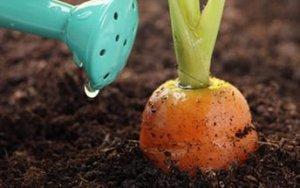 Правила посадки и ухода за морковью в теплице
