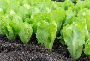 Какая почва нужна для выращивания салата в теплице