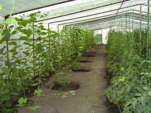 Требования к теплицы для выращивания винограда