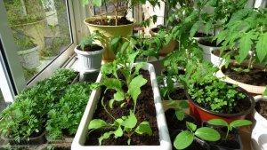 Рассада овощей для зимнего выращивания