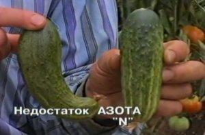 Признаки недостка питания полезными веществами огурцов