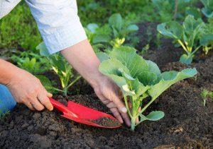Уход за рассадой капусты в теплице