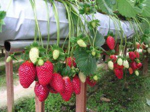 Нюансы бизнеса по выращиванию клубники в теплице