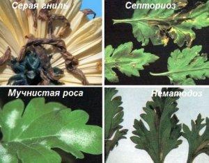 Болезни хризантем в теплице