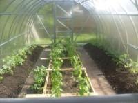 Когда высаживать рассаду перца в теплицу