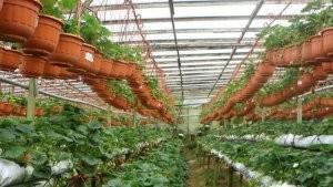 Выращивание клубника по голландской технологии