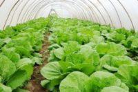 Выращивание капусты в тепличных условиях