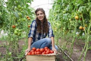 Урожайность томатов в теплице