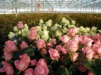 Особенности выращивания в теплице