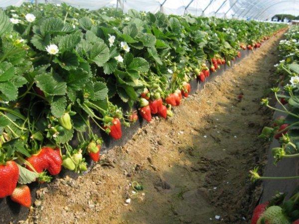 Выращивание клубники в теплице фото №1