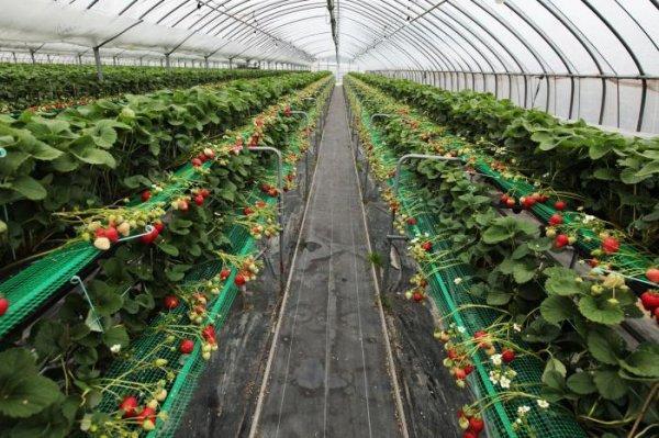 Выращивание клубники в теплице фото №2