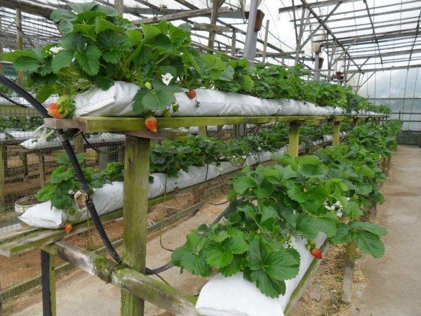 Выращивание клубники в теплице фото №3