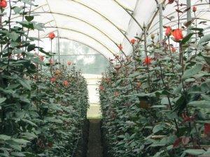 Какие сорта роз лучше подходят для выращивания в теплице?