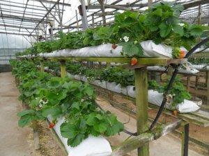 Как подготовить рассаду для выращивания клубники по голландской технологии?