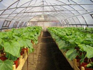 Секреты выращивания кабачков в теплице