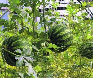 Как получить крепкую рассаду дынь и арбузов для посадки их в теплицу?