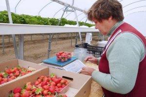 Рентабельность выращивания клубники в теплице как бизнес