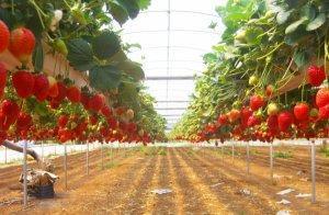Оптимальные условия для выращивания клубники голландским методом