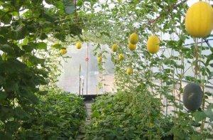 Какую теплицу выбрать для выращивания в ней бахчевых?