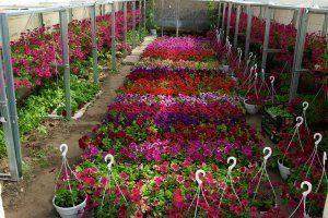 Цветы наиболее подходящая культура для выращивания в теплице