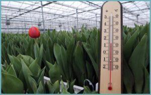 Оптимальные условия для выгонки тюльпанов в теплице