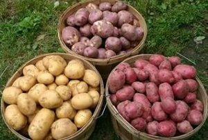 Как сорт картофеля вбрать для посадки в теплицу?