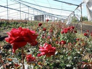 Уход за розами в теплице