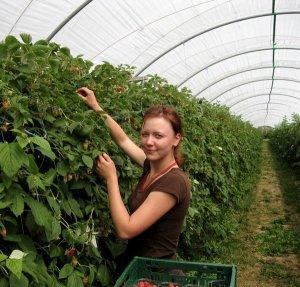 Особенности выращивания малины в теплице