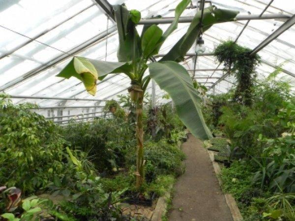 Банановая пальма в теплице