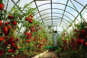 Какой должна быть теплица для бизнеса по выращиванию помидоров?